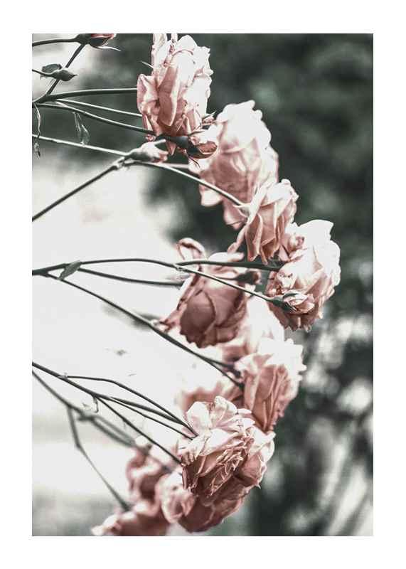 Rose Bush-1
