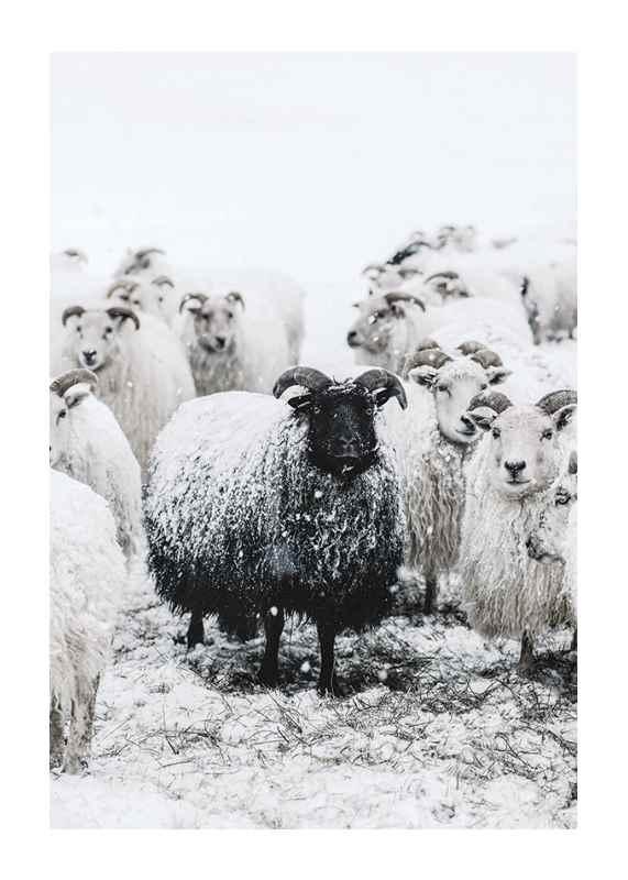 Winter Sheep-1