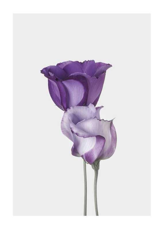 Eustoma Flowers-1