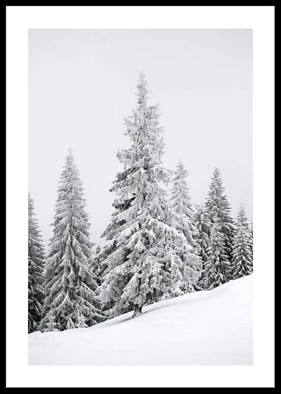 Spruce In Winter-0