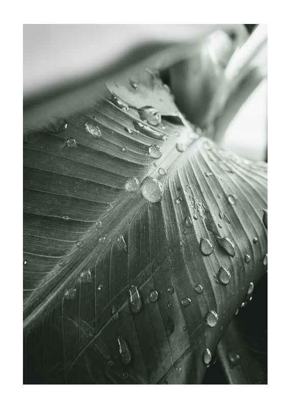 Palm Leaf Raindrops-1