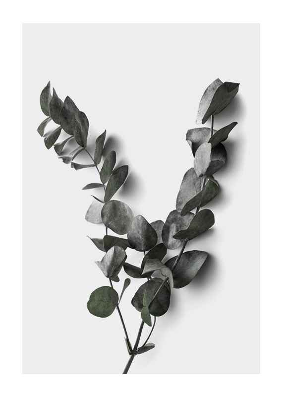 Eucalyptus No3-1