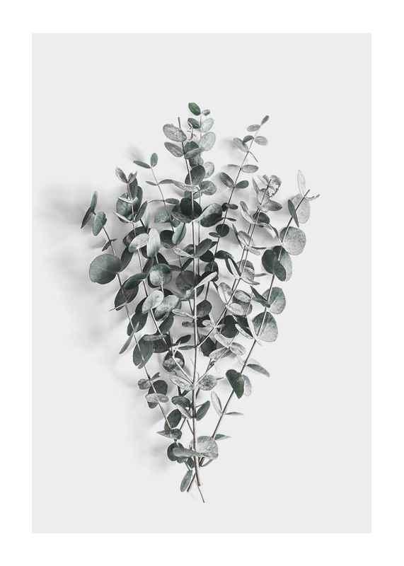 Eucalyptus No5-1