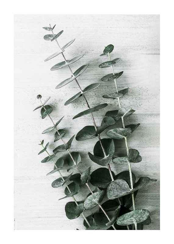 Eucalyptus No6-1
