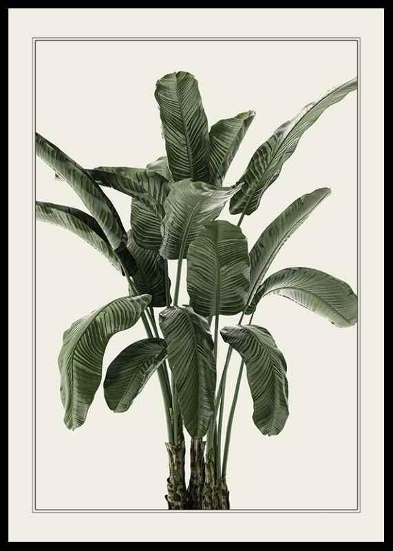Banana Palm-0