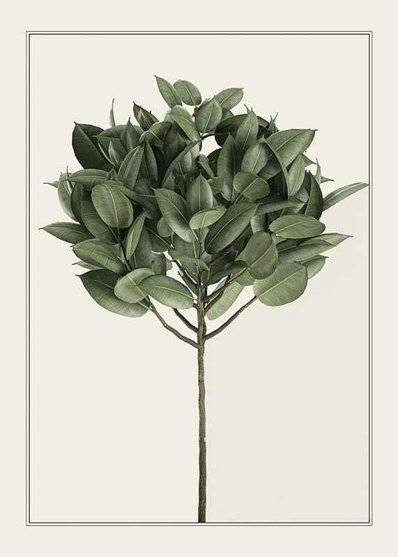 Ficus Elastica-1