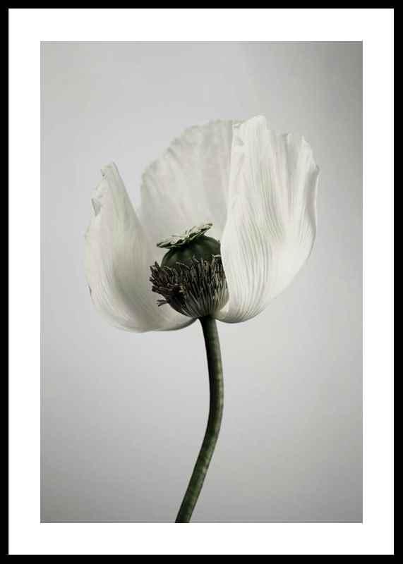 White Poppy-0