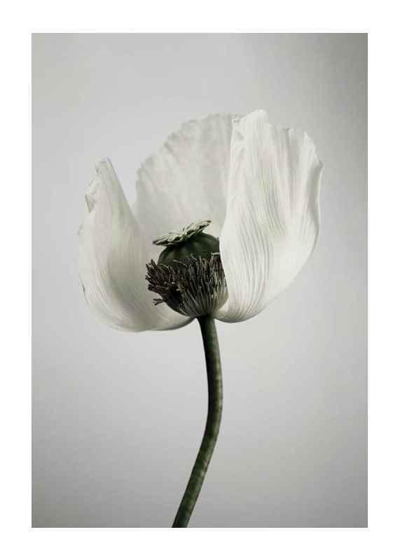 White Poppy-1