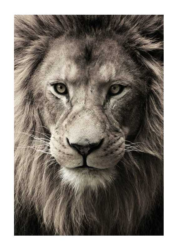African Lion-1