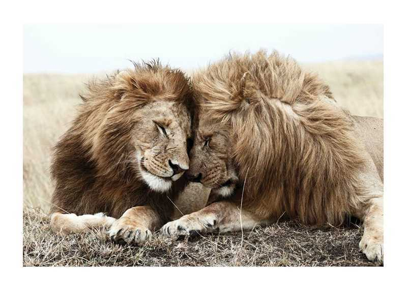 Lion Bothers-1