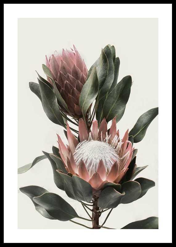 Protea Flowers-0