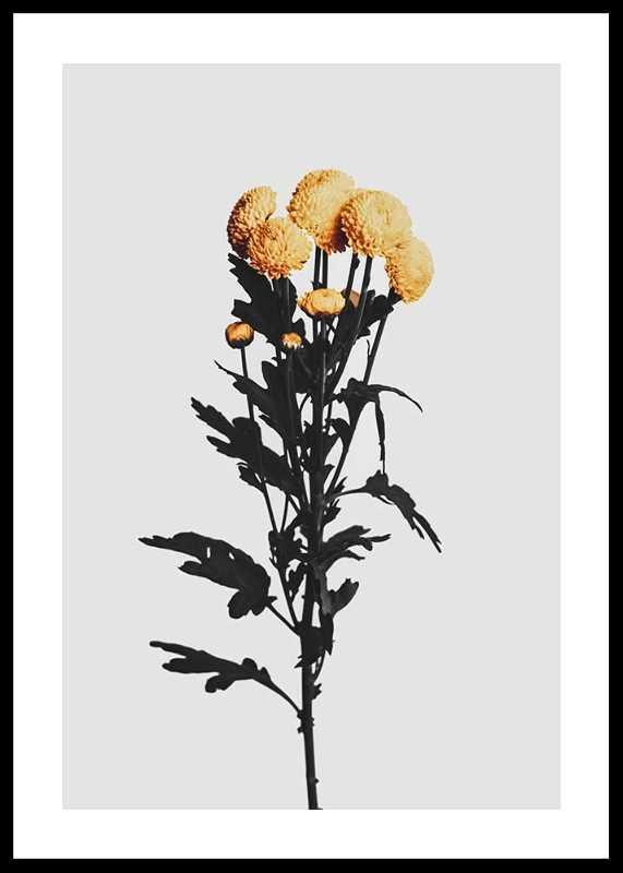 Chrysanthemum No2